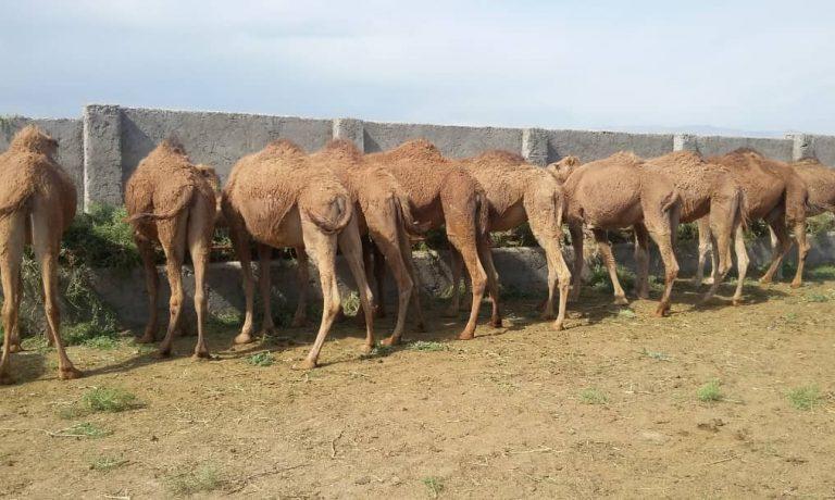 آغاز فعالیت پرورش شتر(پرواری) در شرکت کشت و صنعت پیوند خاوران، استان خراسان جنوبی