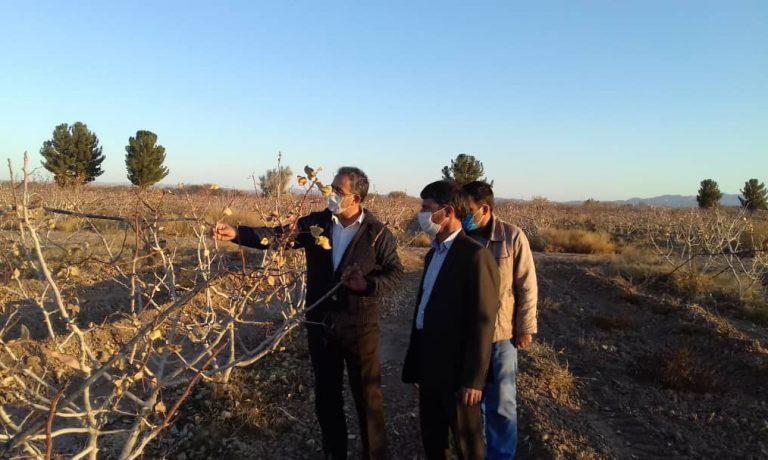 بازدید آقای مهندس صفایی مدیر محترم تولیدات کشاورزی هلدینگ فردوس پارس از طرح های توسعه ای باغات پسته شرکت پیوند خاوران