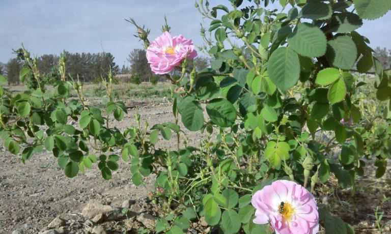 برداشت گل محمدی از باغ خالق آباد شرکت پیوند خاوران