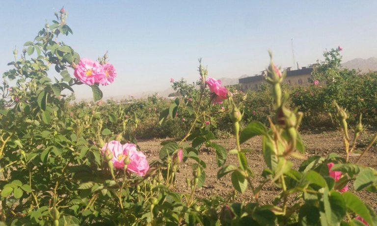 آغاز برداشت گل محمدی از باغ خالق آباد شرکت کشت و صنعت پیوند خاوران